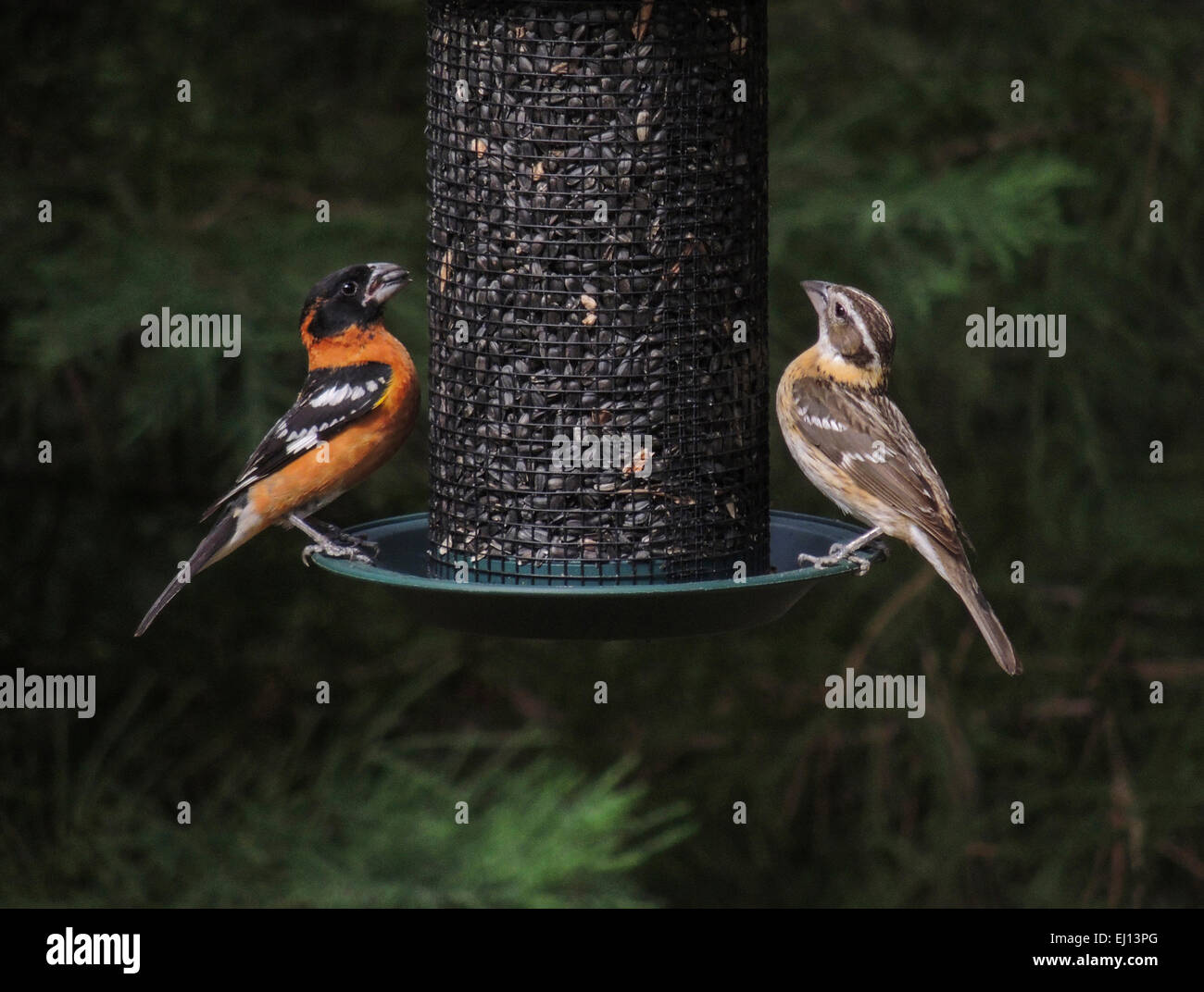 Black-headed Grosbeak (Pheucticus melanocephalus) male and female visit a bird feeder filled with sunflower during - Stock Image