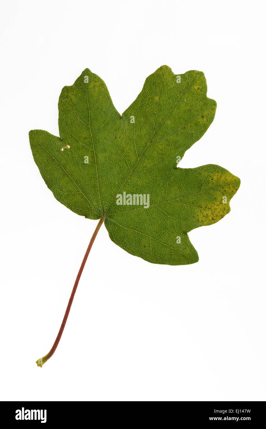 Field maple / hedge maple (Acer campestre) leaf against white background - Stock Image