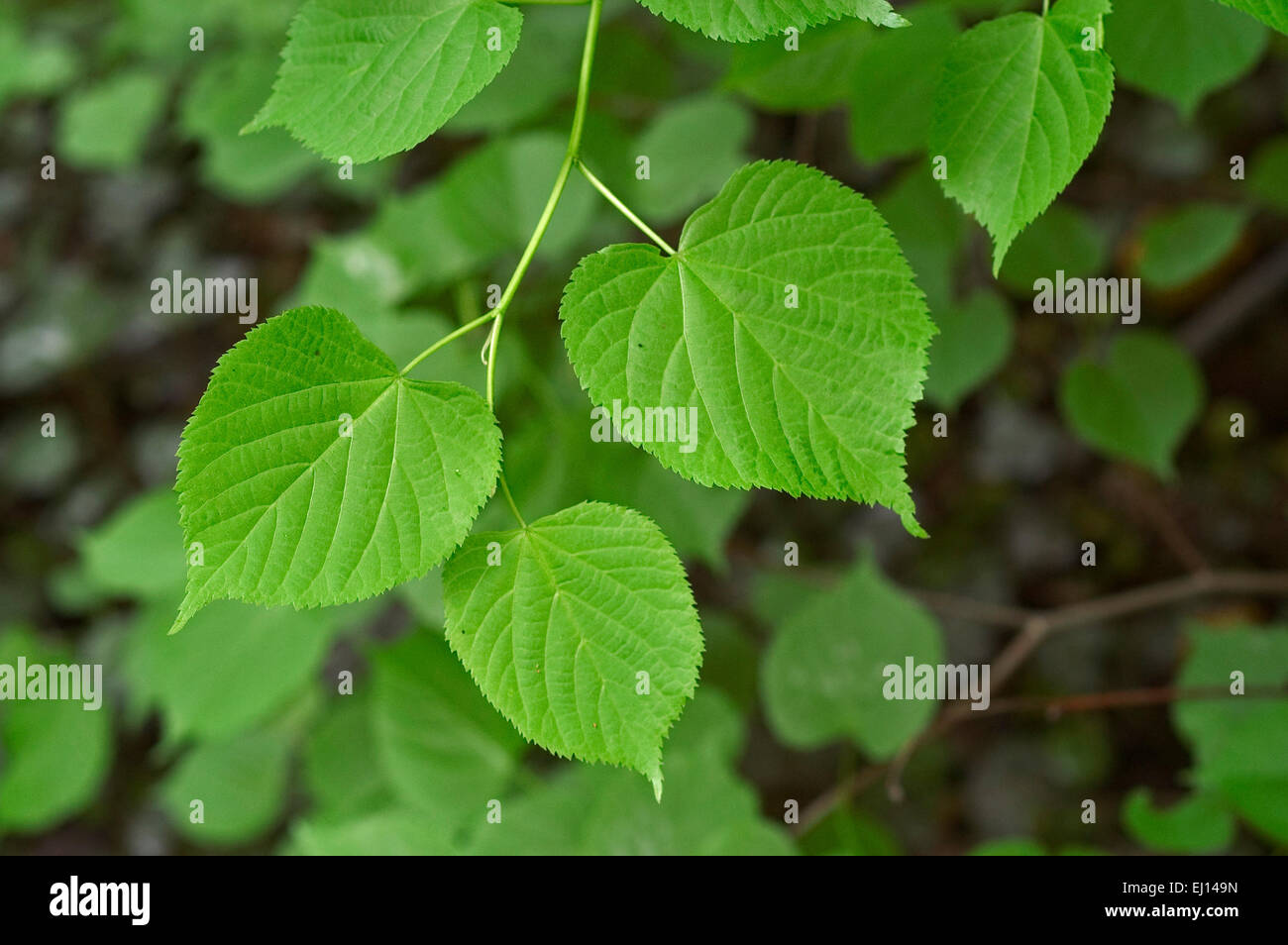 Large-leaved linden / large-leaved lime (Tilia platyphyllos) close up of leaves Stock Photo