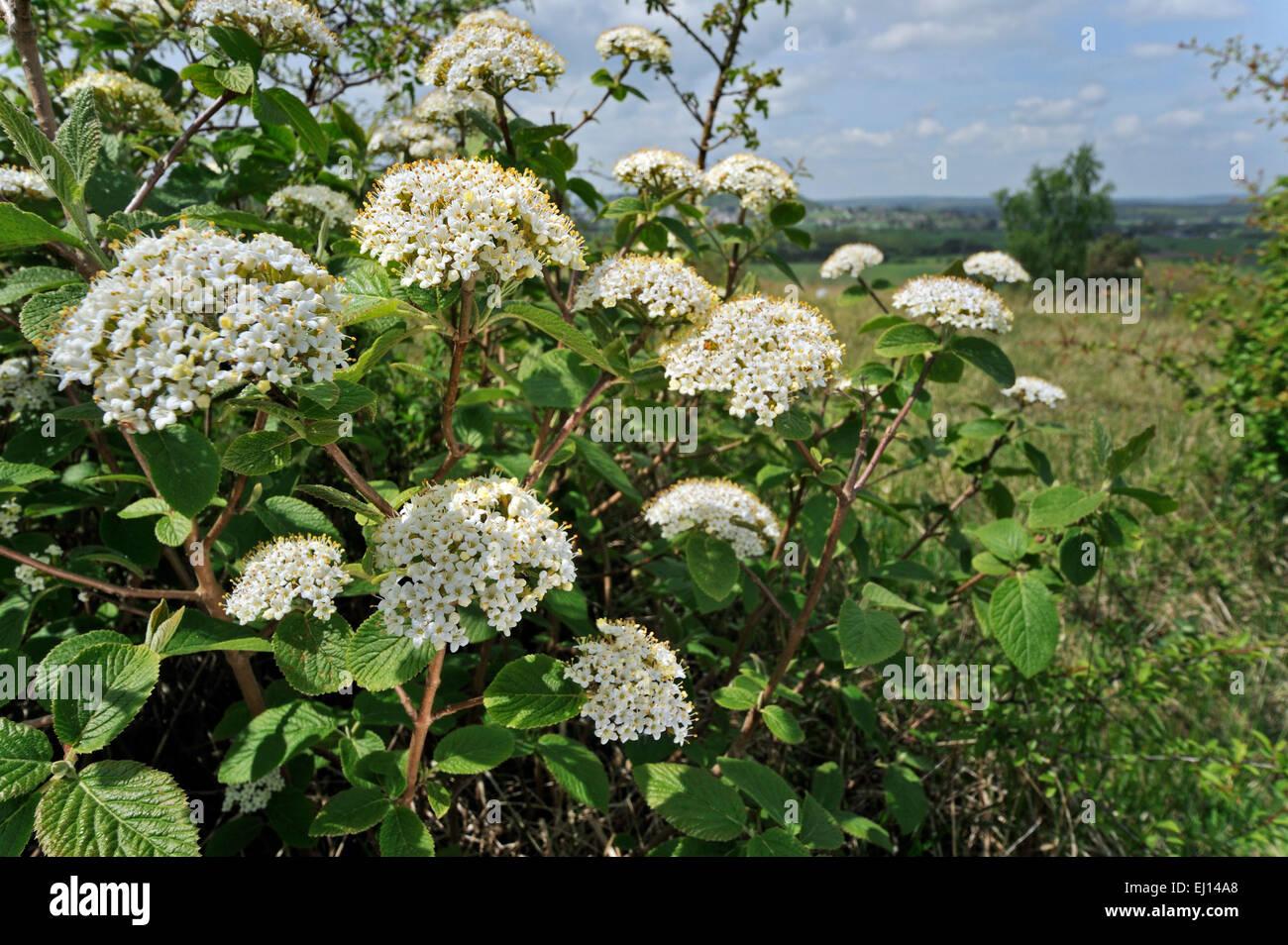 Wayfarer / wayfaring tree (Viburnum lantana) in flower - Stock Image
