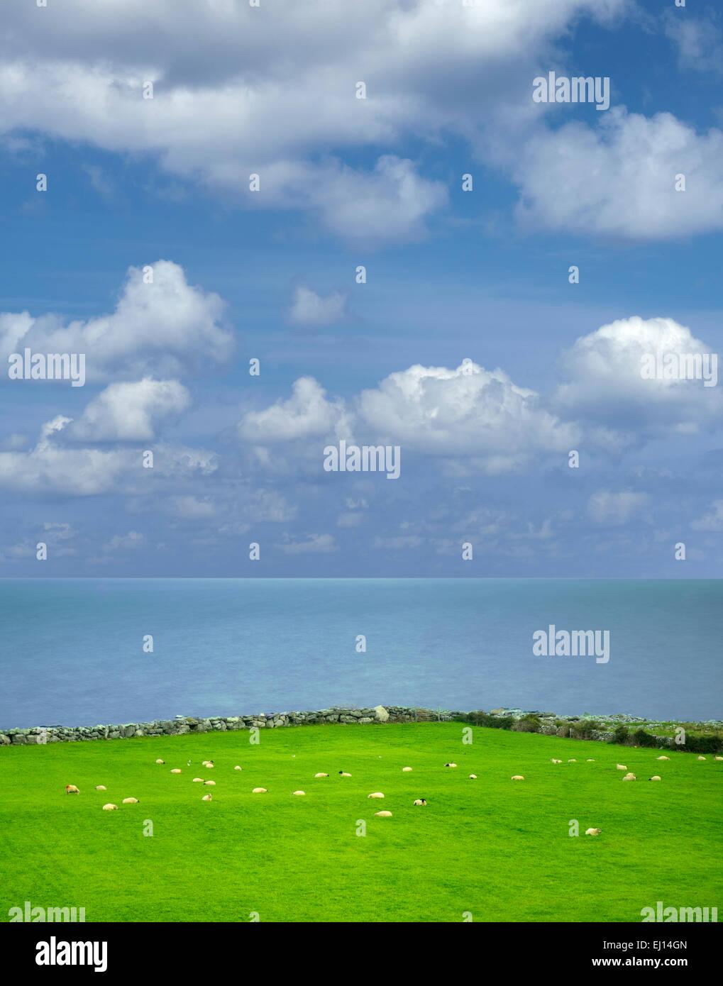 Sheep in pasture with ocean. Galway Bay, Black Head, The Burren, Ireland - Stock Image