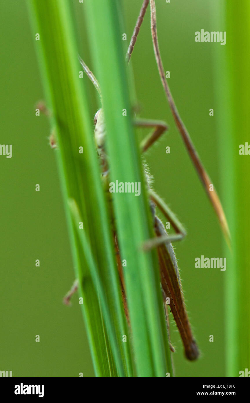 Meadow Grasshopper (Chorthippus d Europa parallelus) on gras germany europe - Stock Image