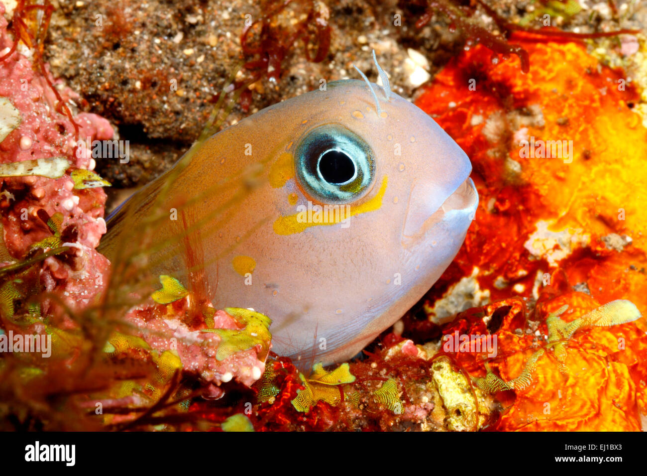 Midas Blenny, Golden Blenny or Lyretail Blenny, Ecsenius midas, peering out of its home in a hole in the reef. Tulamben, - Stock Image