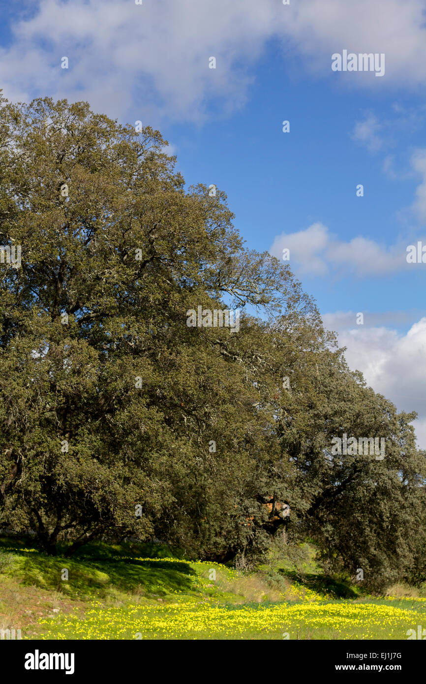 View of carob trees in the spring countryside of the Algarve region, Portugal. Stock Photo