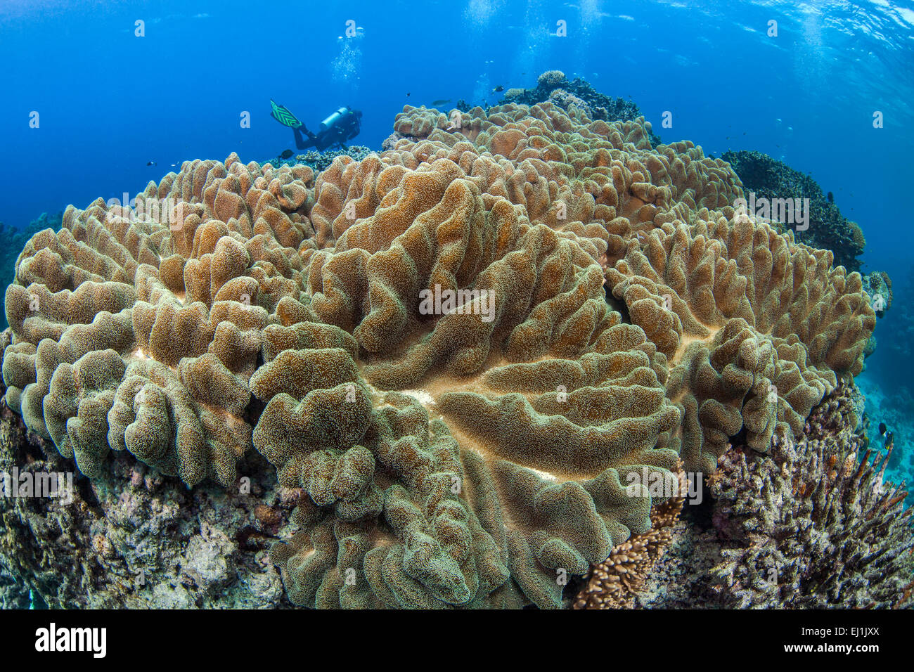 Large leather coral colony with scuba diver in background. Spratly Islands, South China Sea. - Stock Image