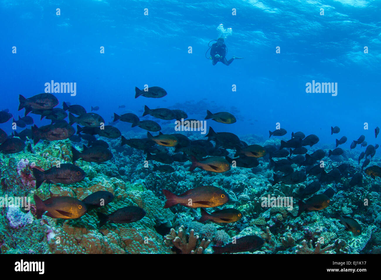 Scuba diver observes school of Midnight Snappers (Macolor macularis); Spratly Islands, South China Sea. - Stock Image
