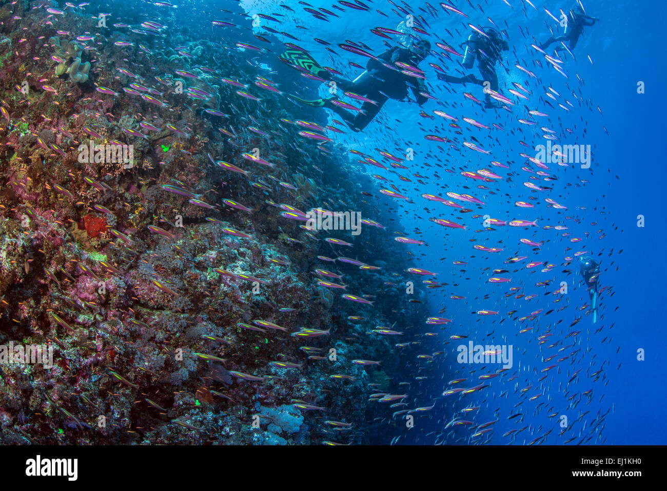 Scuba divers plunge into school of fusiliers feeding in swift ocean current. Spratly Islands, South China Sea. - Stock Image