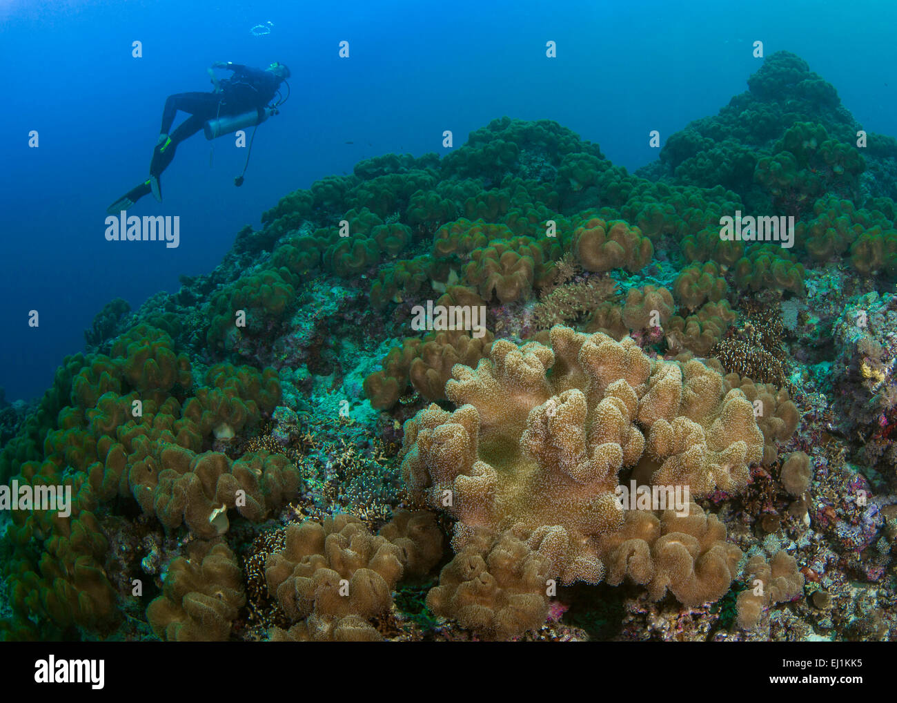Reef innundated with toadstool leather coral (Sacrophyton sp.); Scuba diver in background blows bubble rings. Spratly - Stock Image