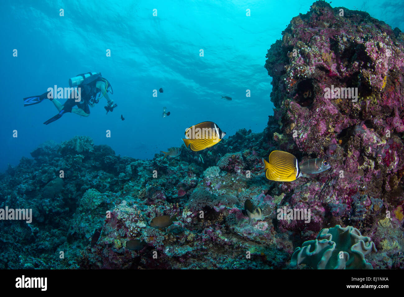 Underwater photographer explores coral reef with racoon butterflyfish (Chaetodon lunula). Spratly Islands, South - Stock Image