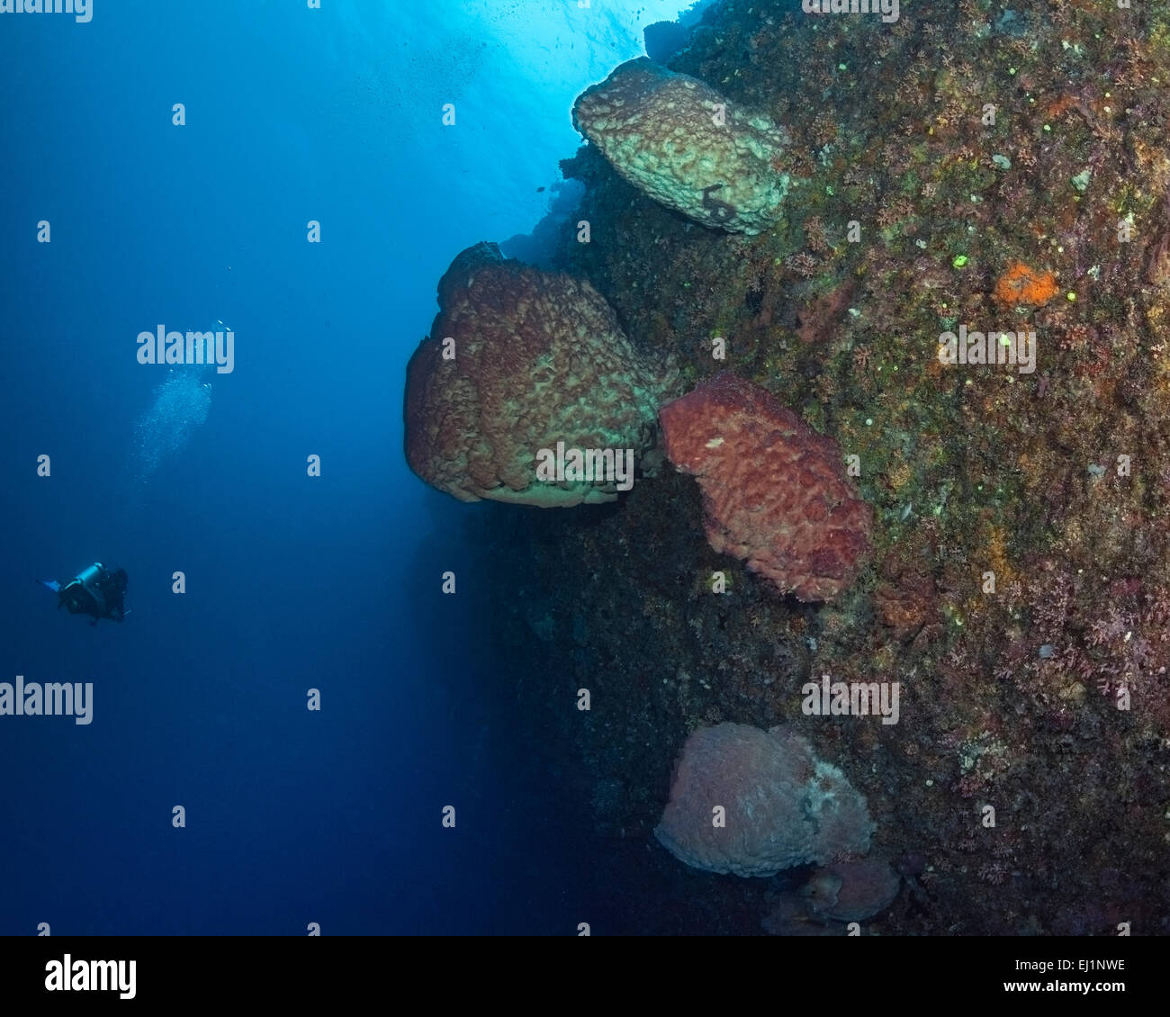 Scuba diver inspects large fluorescent barrel sponges on wall reef. Spratly Islands, South China Sea. - Stock Image