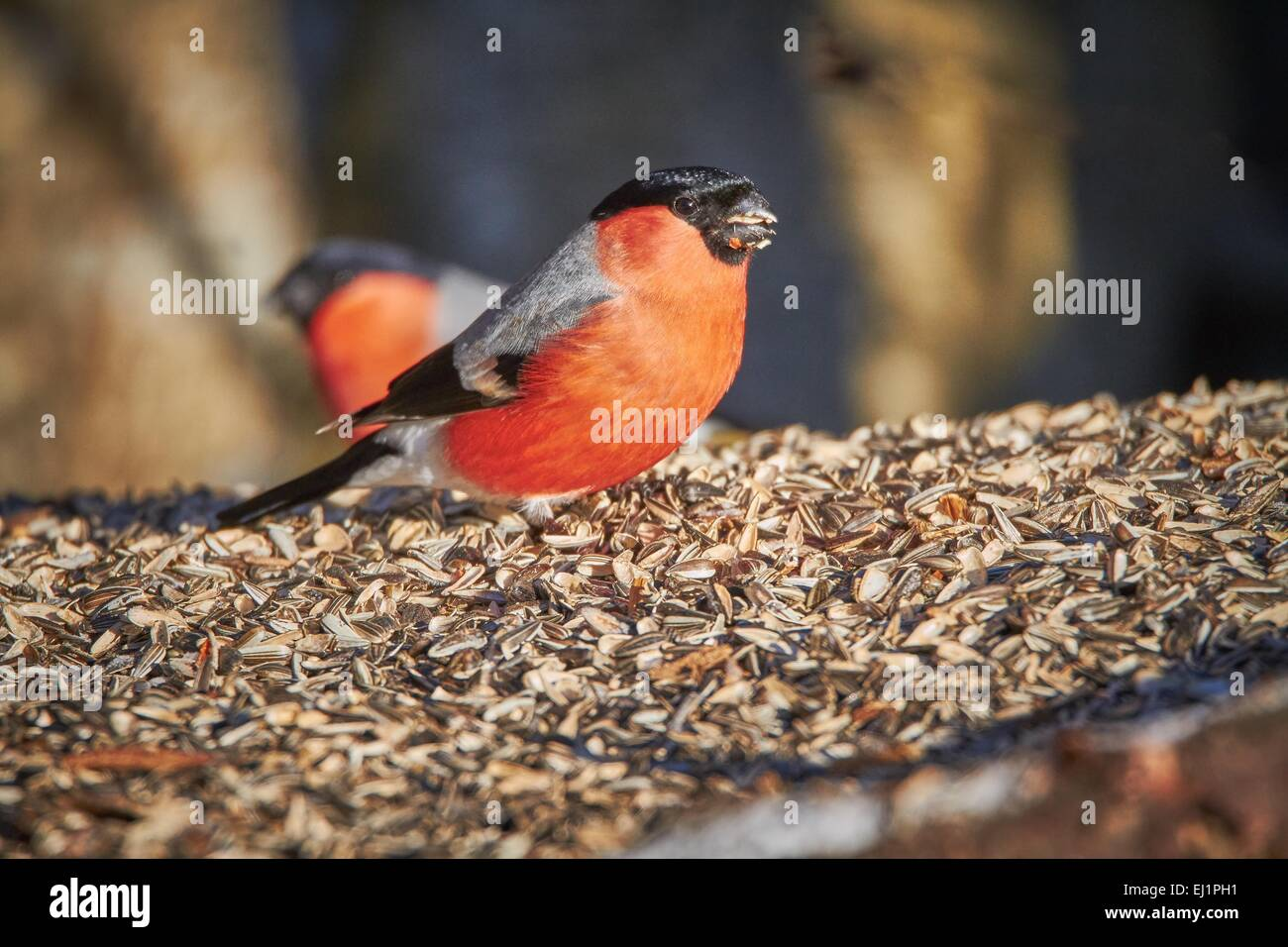 Bullfinch male (Pyrrhula pyrrhula) eating sunflower seed on the ground at the winter feeding place on a sunny spring - Stock Image