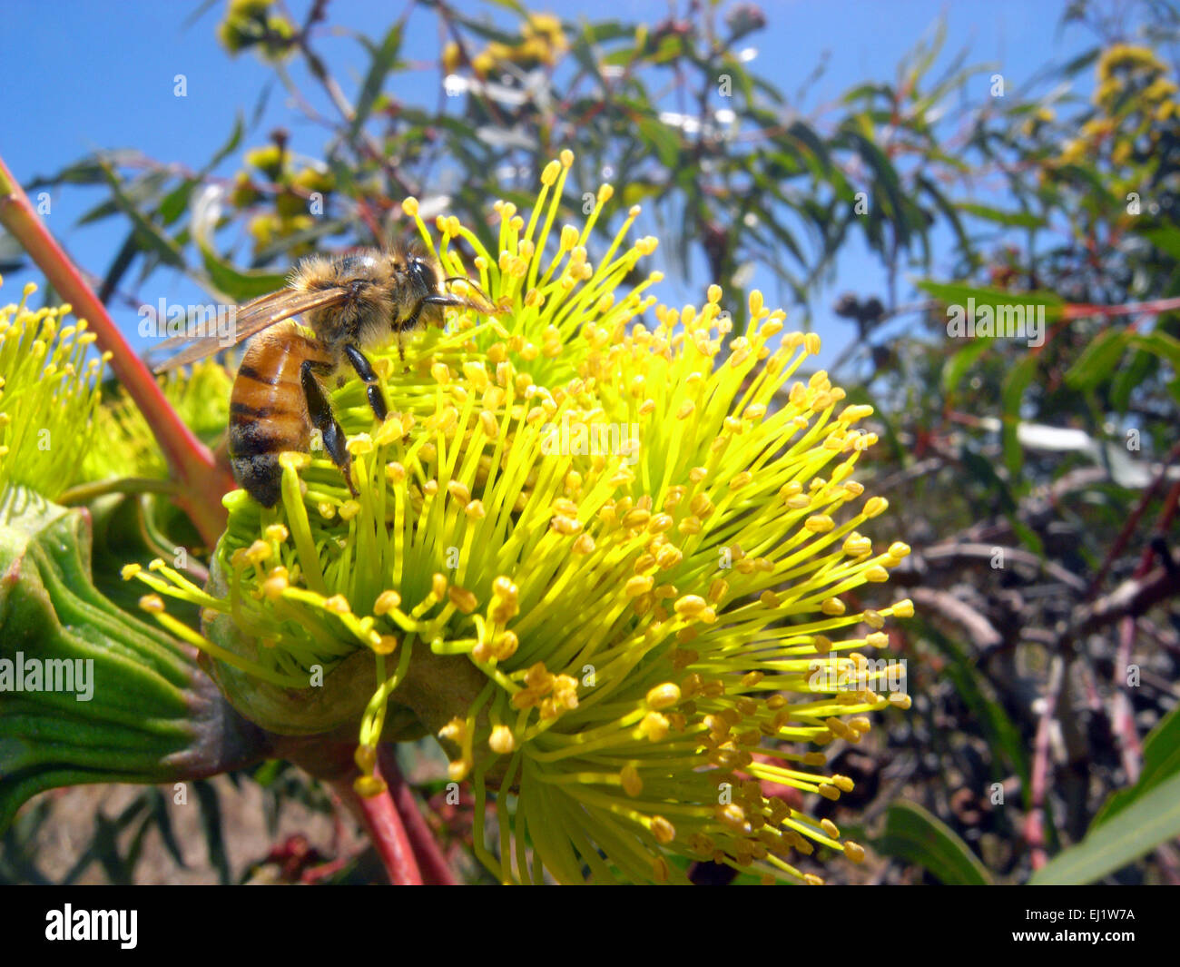 Bee (Apis mellifera) collecting nectar from Illyarrie or red-capped gum (Eucalyptus erythrocorys), Perth, Western - Stock Image