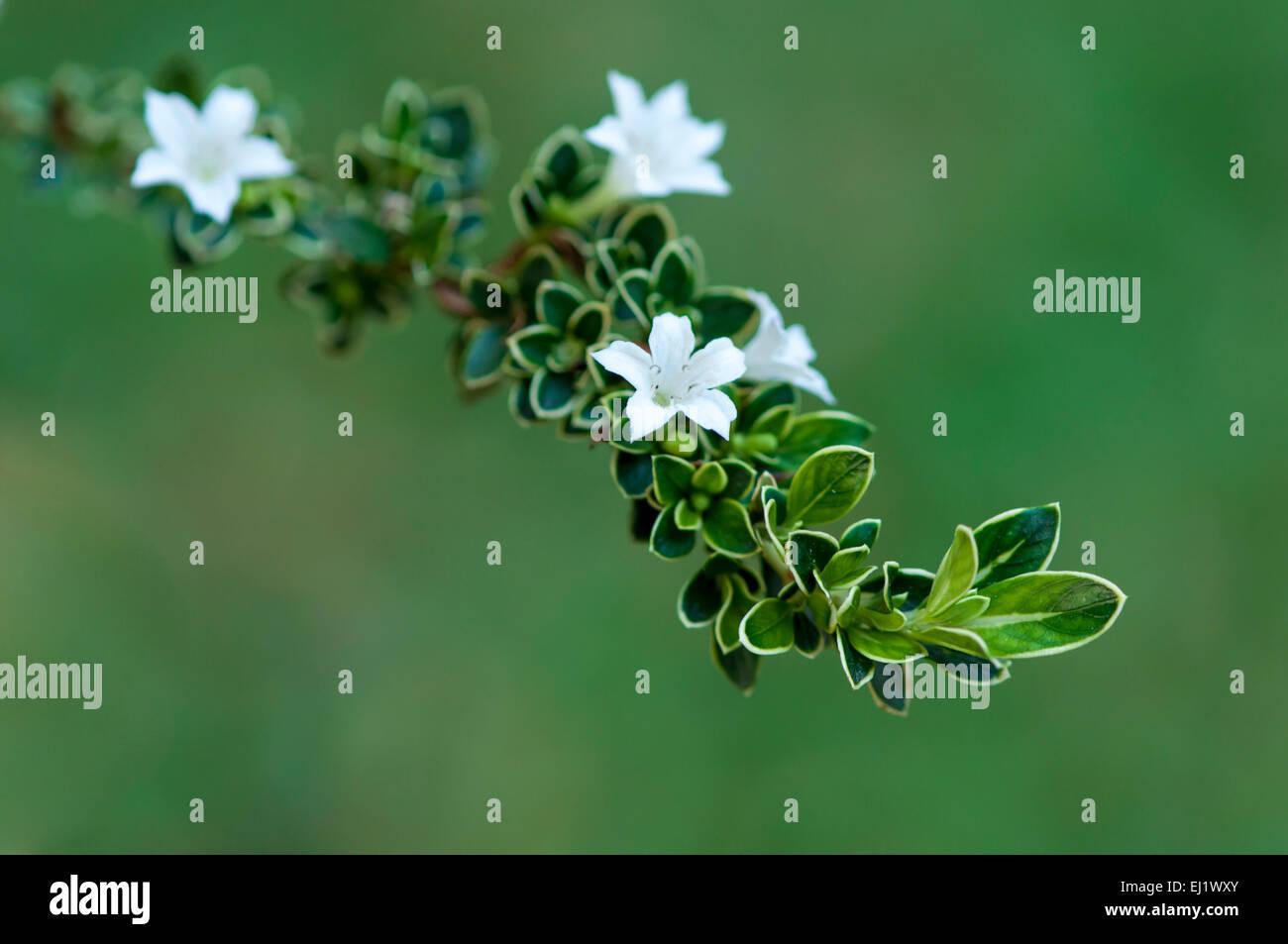 flower in Spring Viet Nam - Stock Image