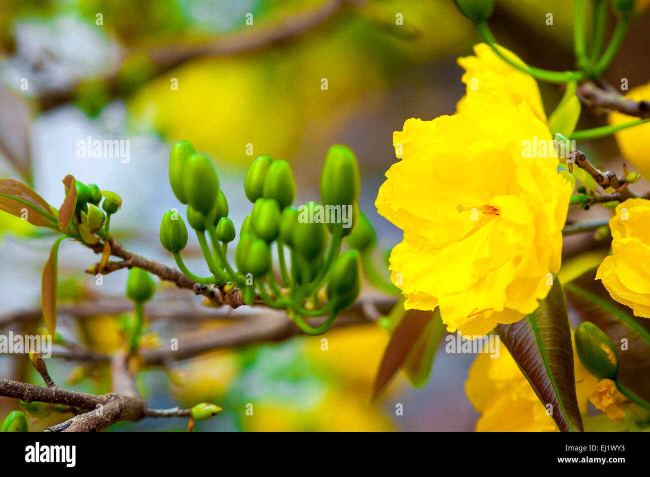 Mickey Mouse Plant Flower In Spring Viet Nam Stock Photo 79947591