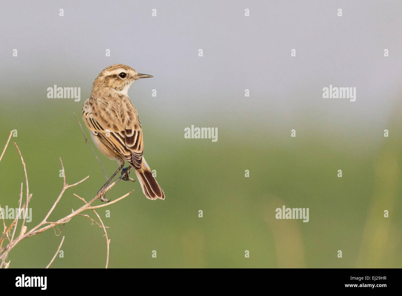 White-browed Bush Chat (Saxicola macrorhynchus) also known as Stoliczka's Bushchat - Stock Image