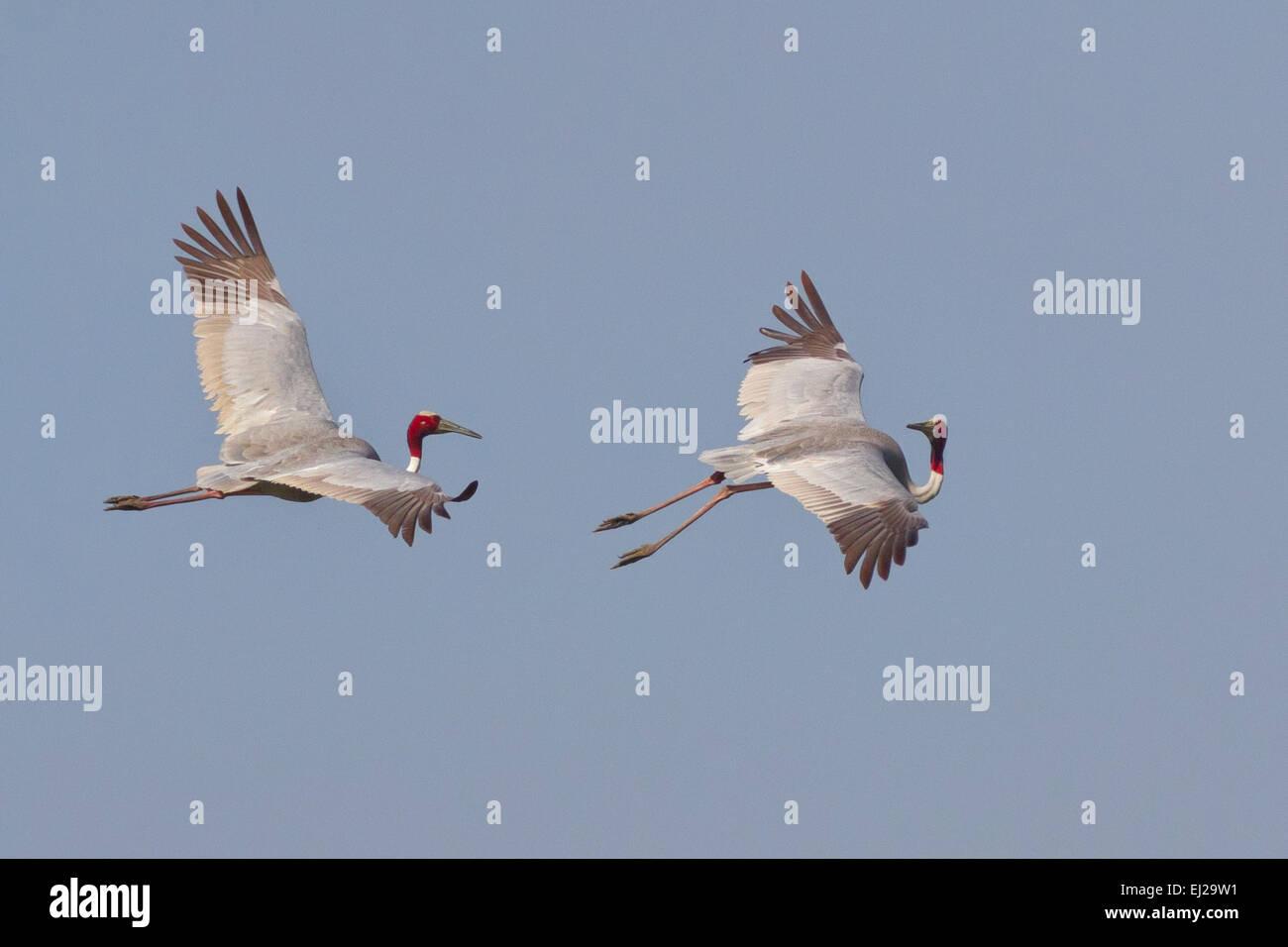 Sarus or Indian cranes (Grus antigone) in flight Stock Photo