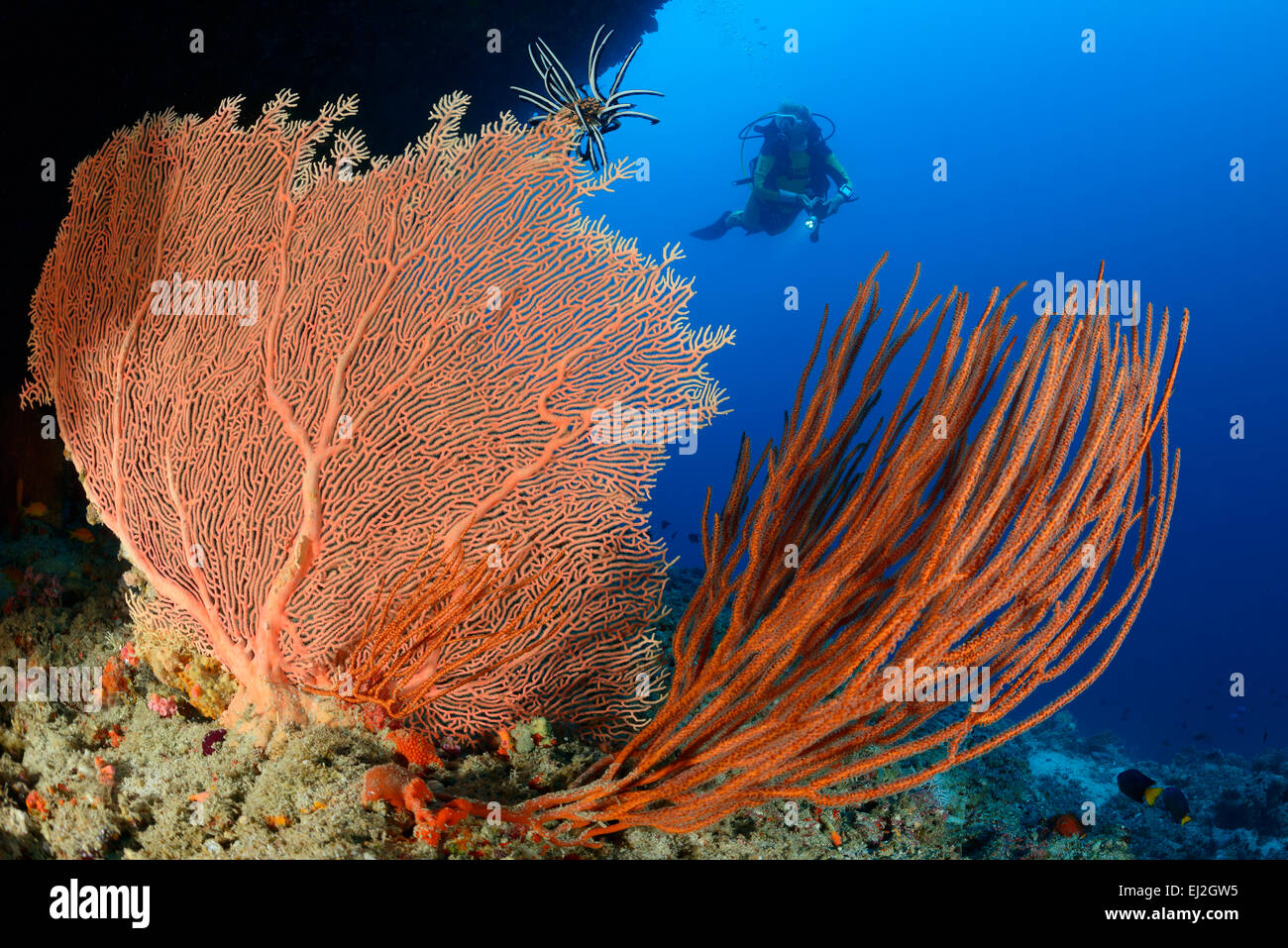Subergorgia sp. Ellisella sp., Giant seafan and Sea whip Coral and scuba diver, Dhonfan Thil, Baa Atoll, Maldives Stock Photo