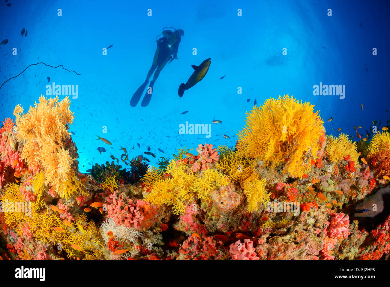 Acabaria sp., Coral reef with Yellow fan coral and scuba diver, Muthafushi Thila, Baa Atoll, Maldives, Indian Ocean Stock Photo