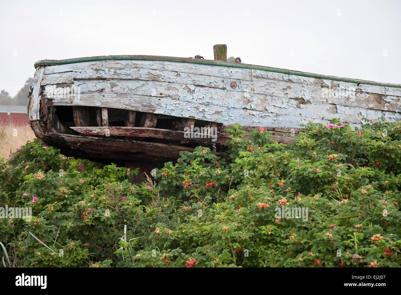 Obsolete boat parked in dog roses. Copy space - Stock Image