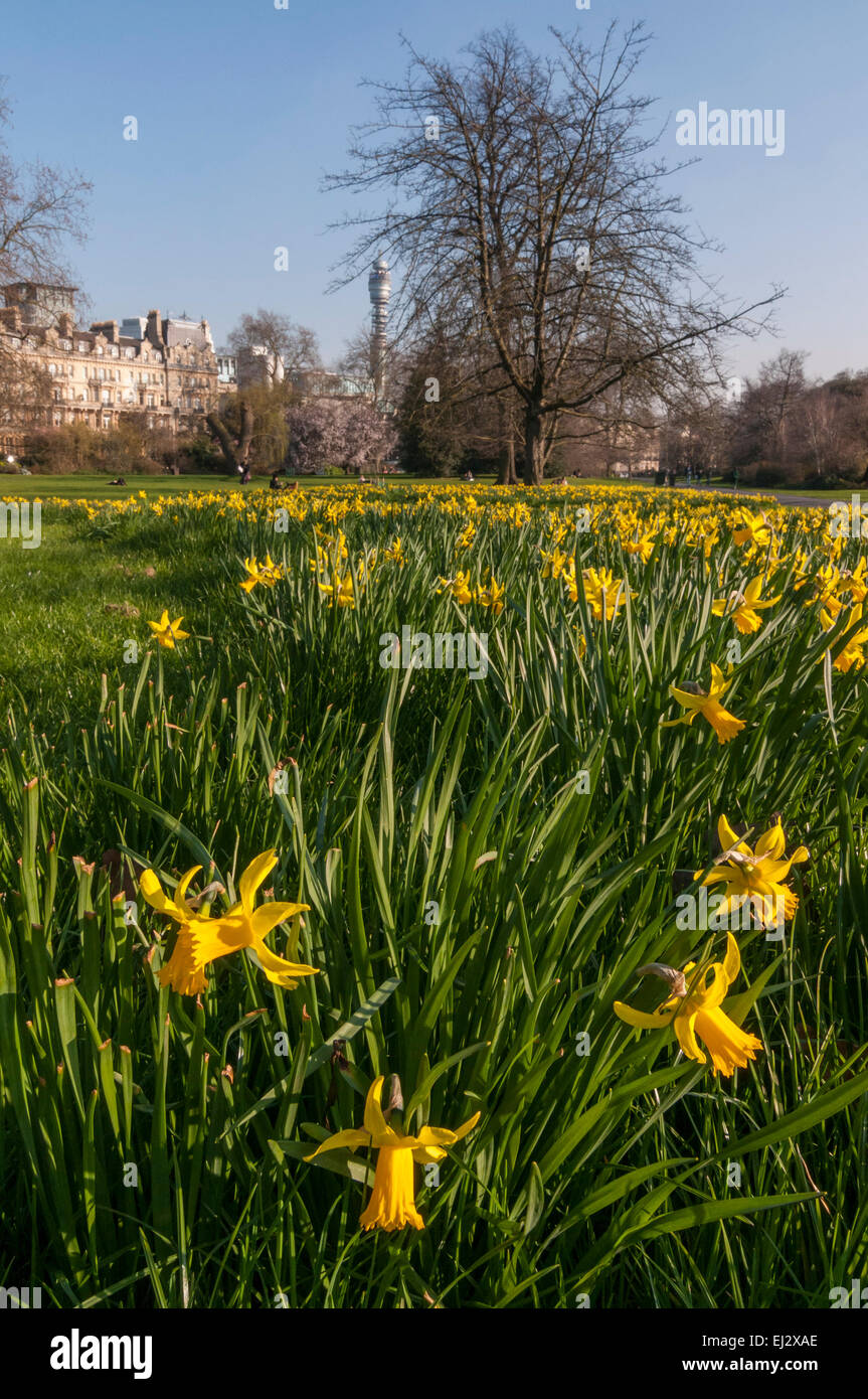 London, UK, 20 March 2015.  The daffodils are in bloom, as afternoon sunshine in Regent's Park heralds the start Stock Photo