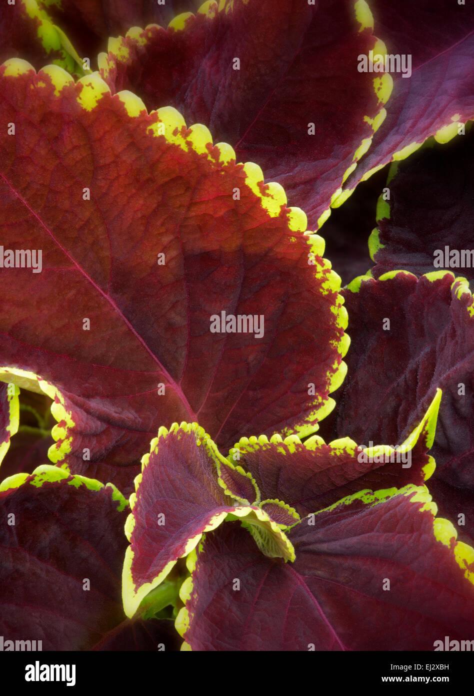 Chocolate Symphony Coleus. Coleus versa lime. - Stock Image