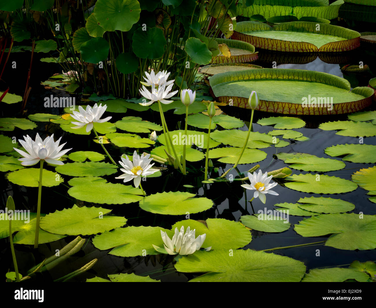 Waterlily in pond. Oregon - Stock Image