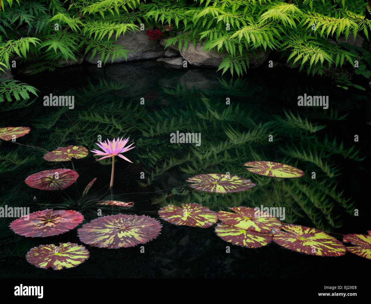 Waterlilies in pond with reflection. Oregon - Stock Image