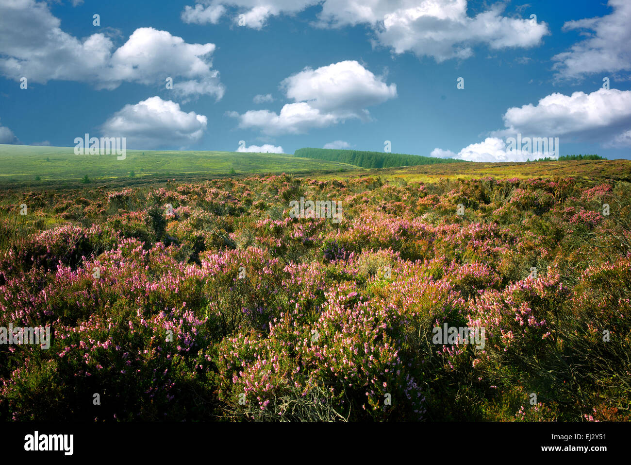 Wild heather near Ballycastle. Northern Ireland - Stock Image