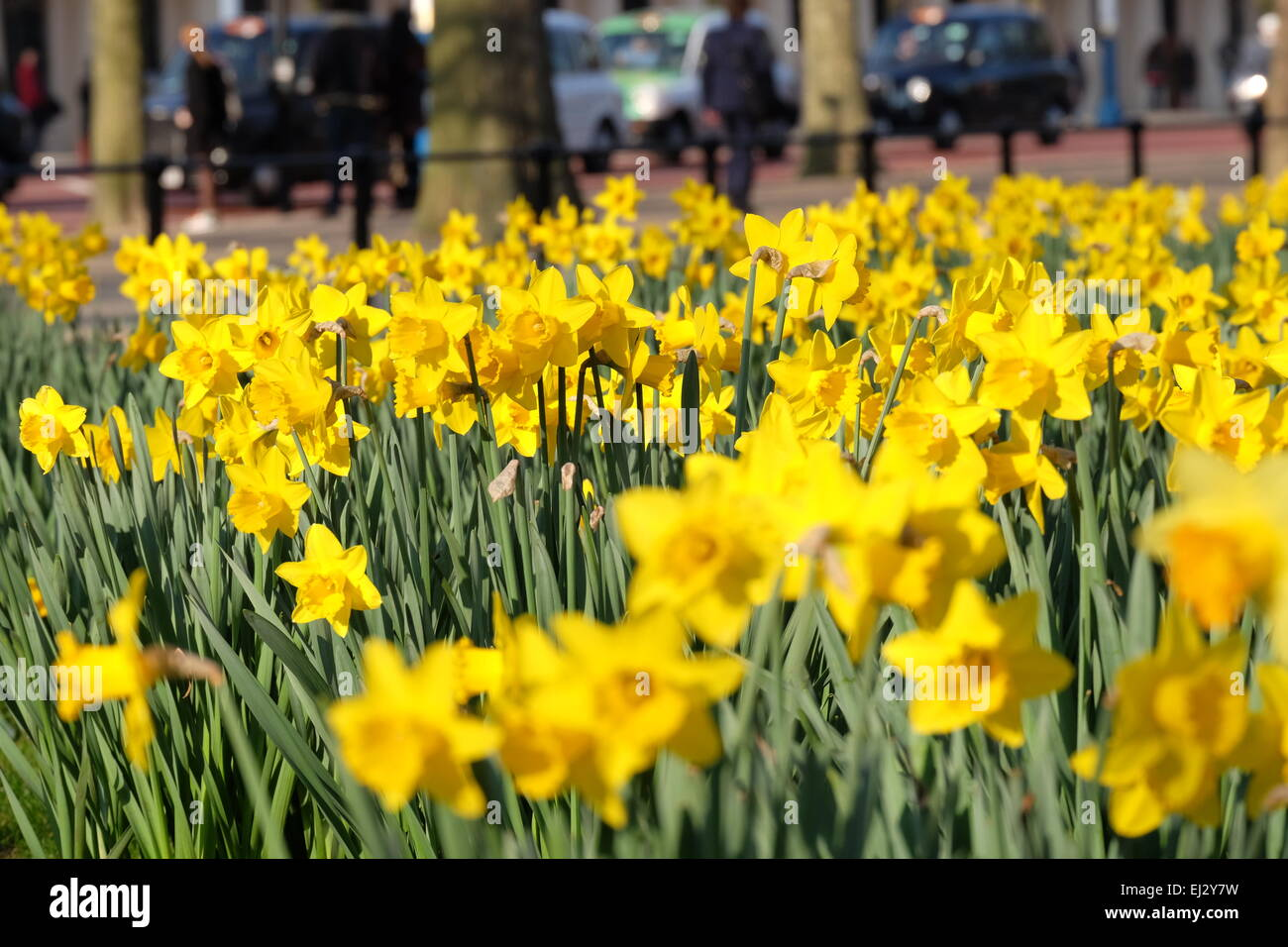 London, UK. 20th March, 2015. Afternoon sunshine on Daffodils in London Credit:  Rachel Megawhat/Alamy Live News Stock Photo