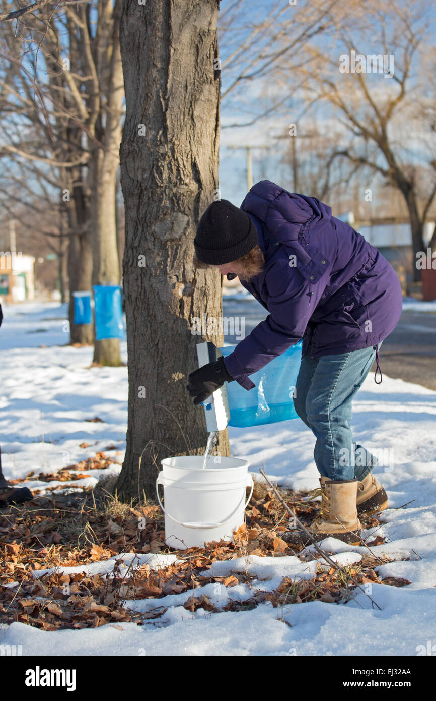 Detroit, Michigan - Billie Hickey collects sap from sugar maple trees in the Brightmoor section of Detroit. Stock Photo