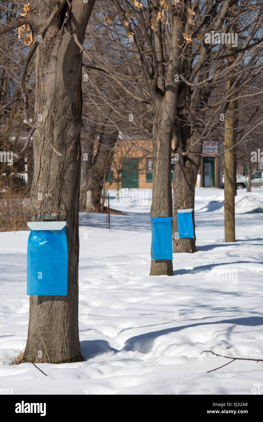Detroit, Michigan - Sugar maple trees are tapped to collect sap for maple syrup in the Brightmoor section of Detroit. Stock Photo