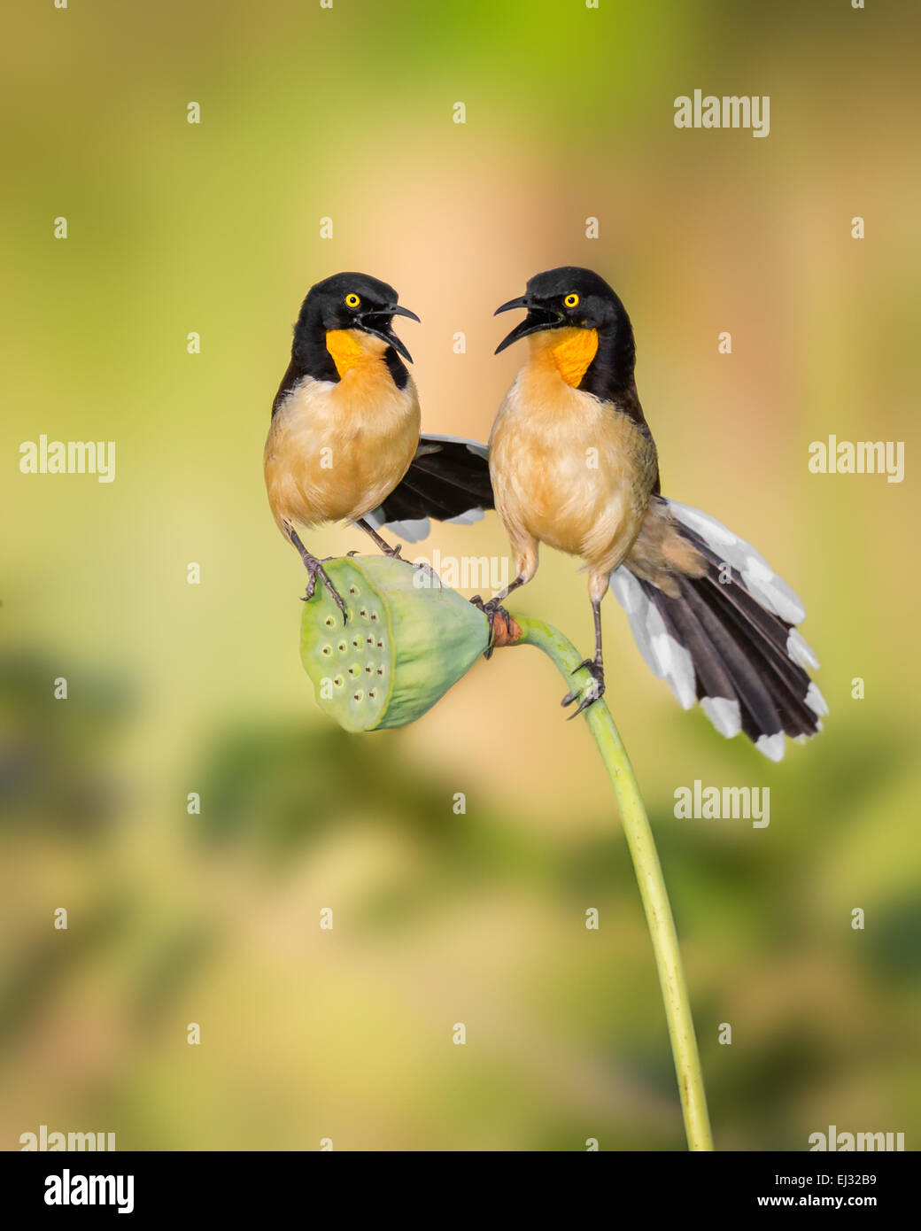 Black-capped Donacobius (Donacobius atricapilla) pair, singing on lotus seedcup, Botanical Gardens, Georgetown, Stock Photo