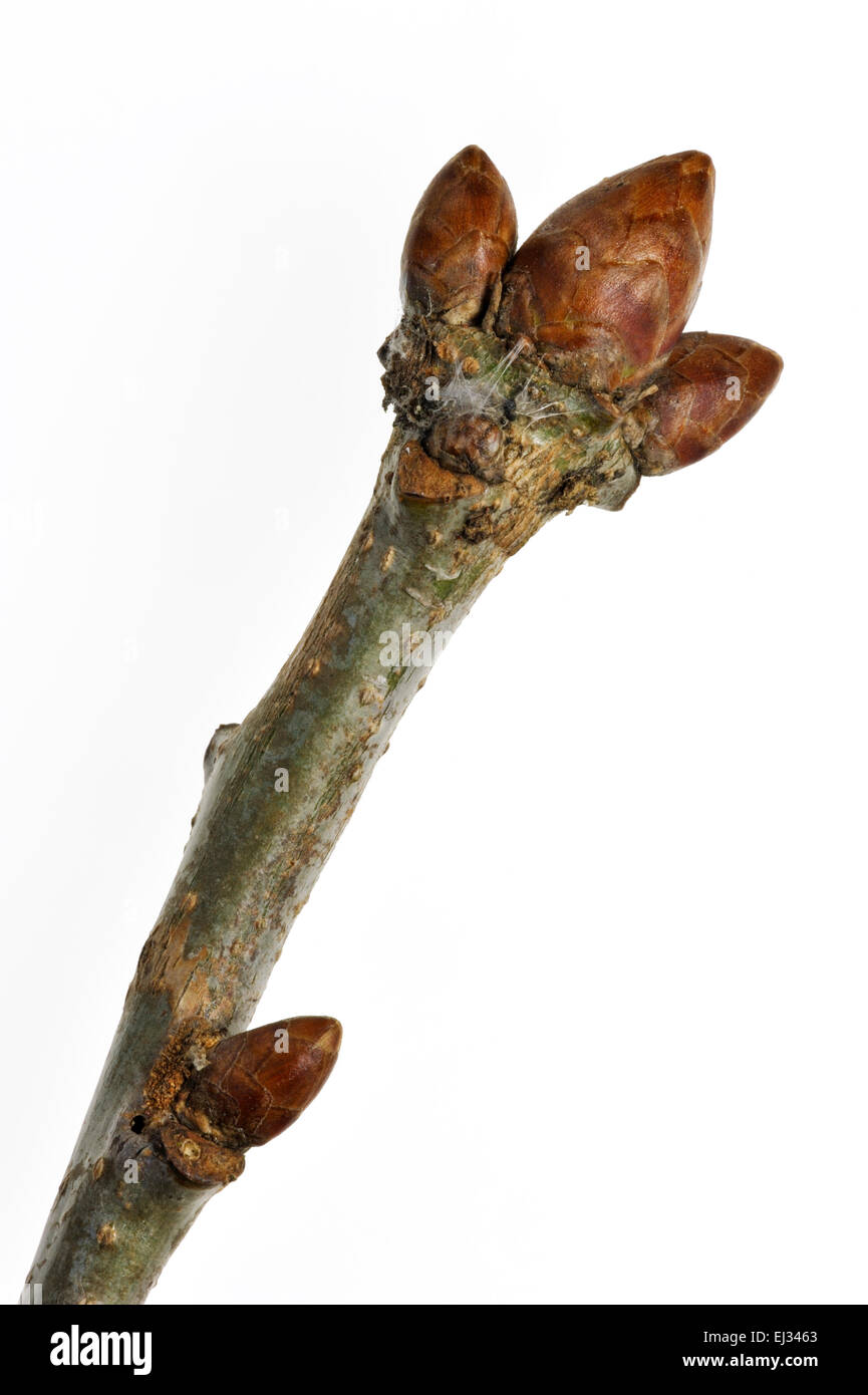 English oak / pedunculate oak / French oak (Quercus robur) close up of twig with tree buds in spring against white - Stock Image