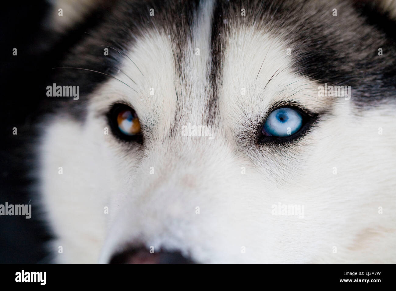 Siberian Husky Close Up Of Different Colored Eyes Stock Photo