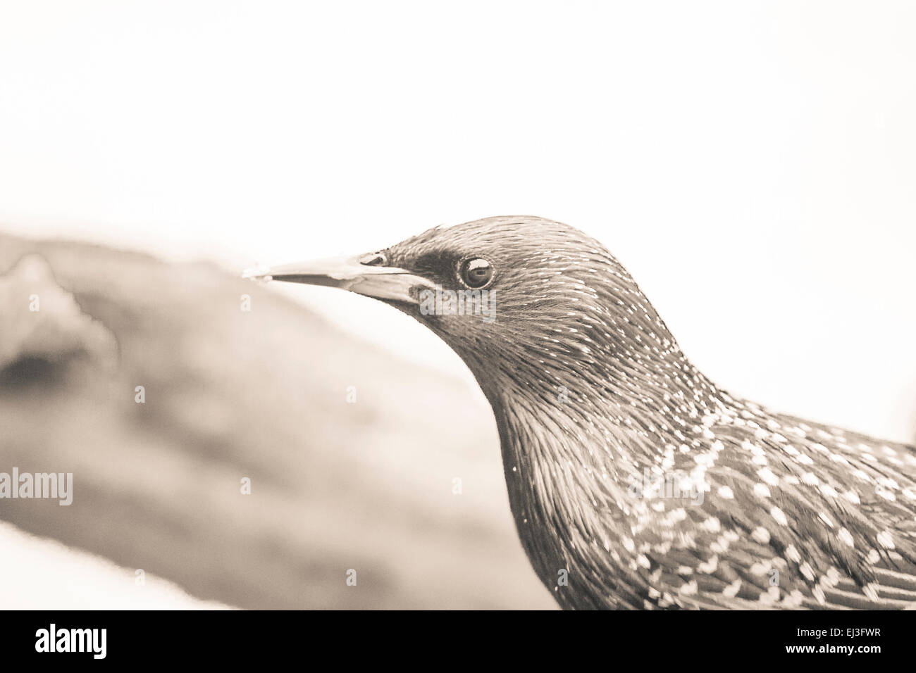 lightly tinted monochrome image of starling close up with vintage duo tone effect - Stock Image