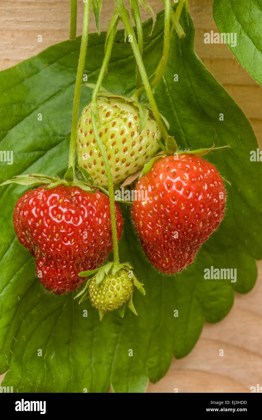 Raised Strawberry Bed Stock Photos Raised Strawberry Bed