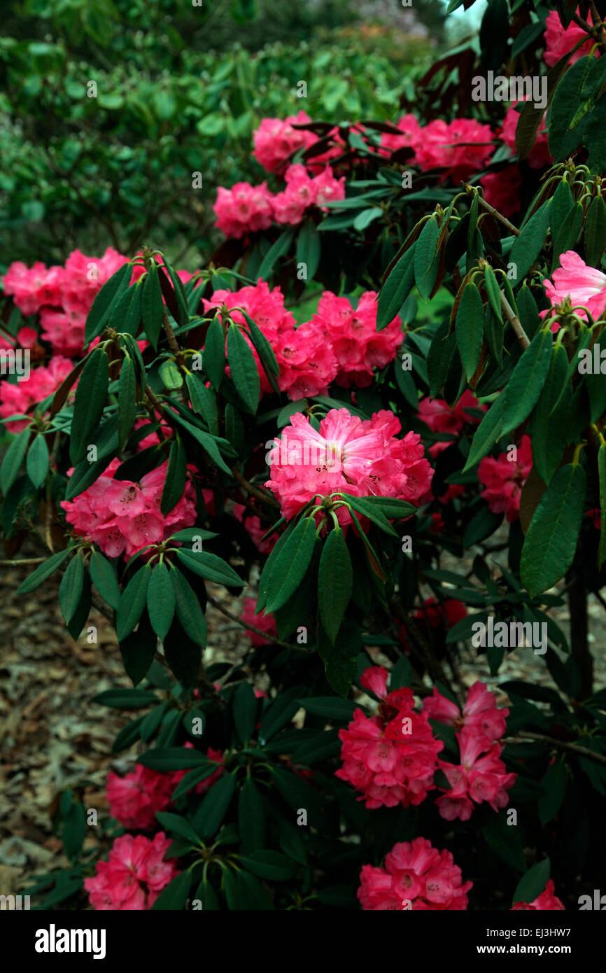 Rhododendron arboreum subsp. arboreum in the Valley Gardens, Windsor - Stock Image