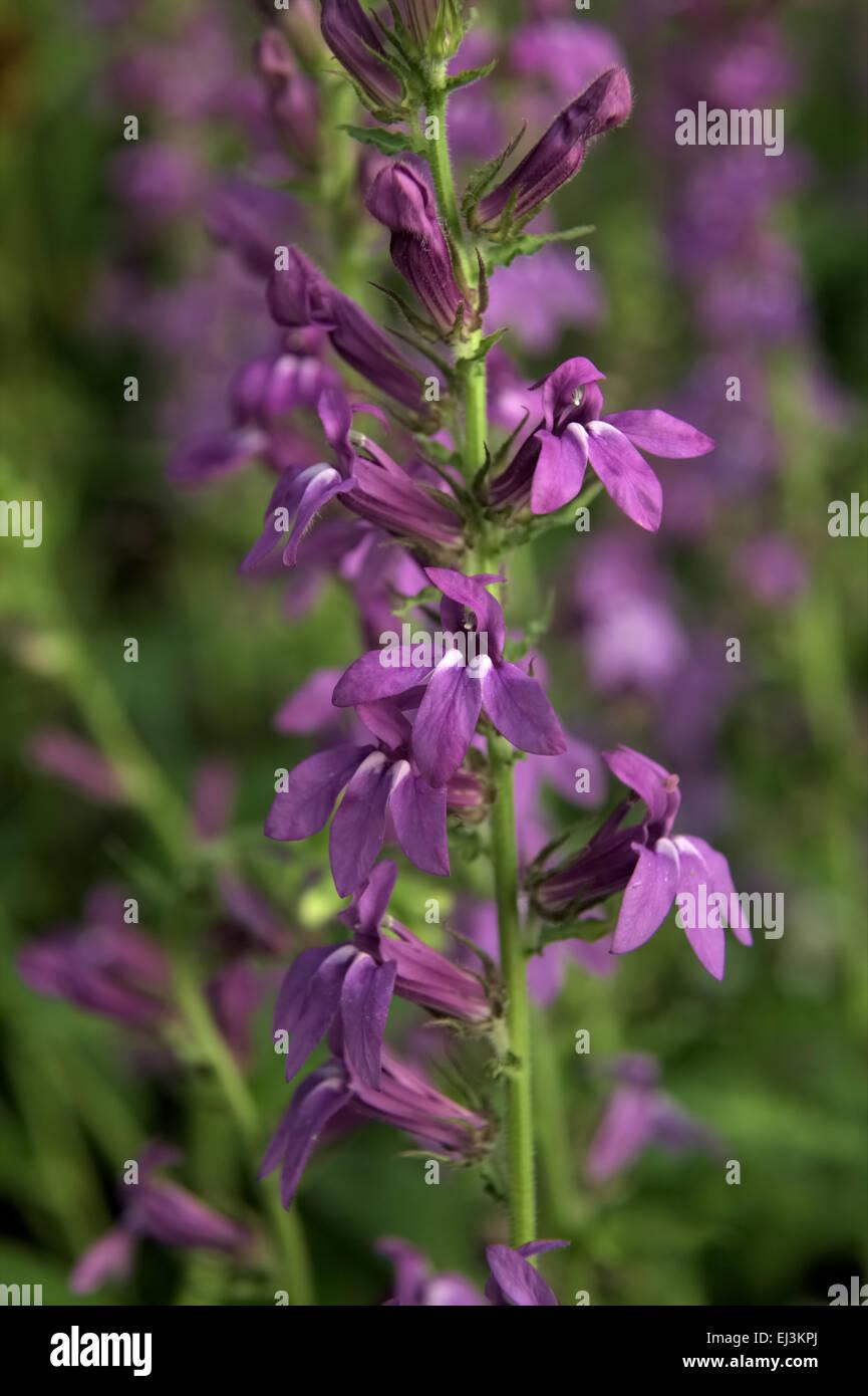 Lobelia Speciosa Vedrariensis Stock Photos Lobelia Speciosa