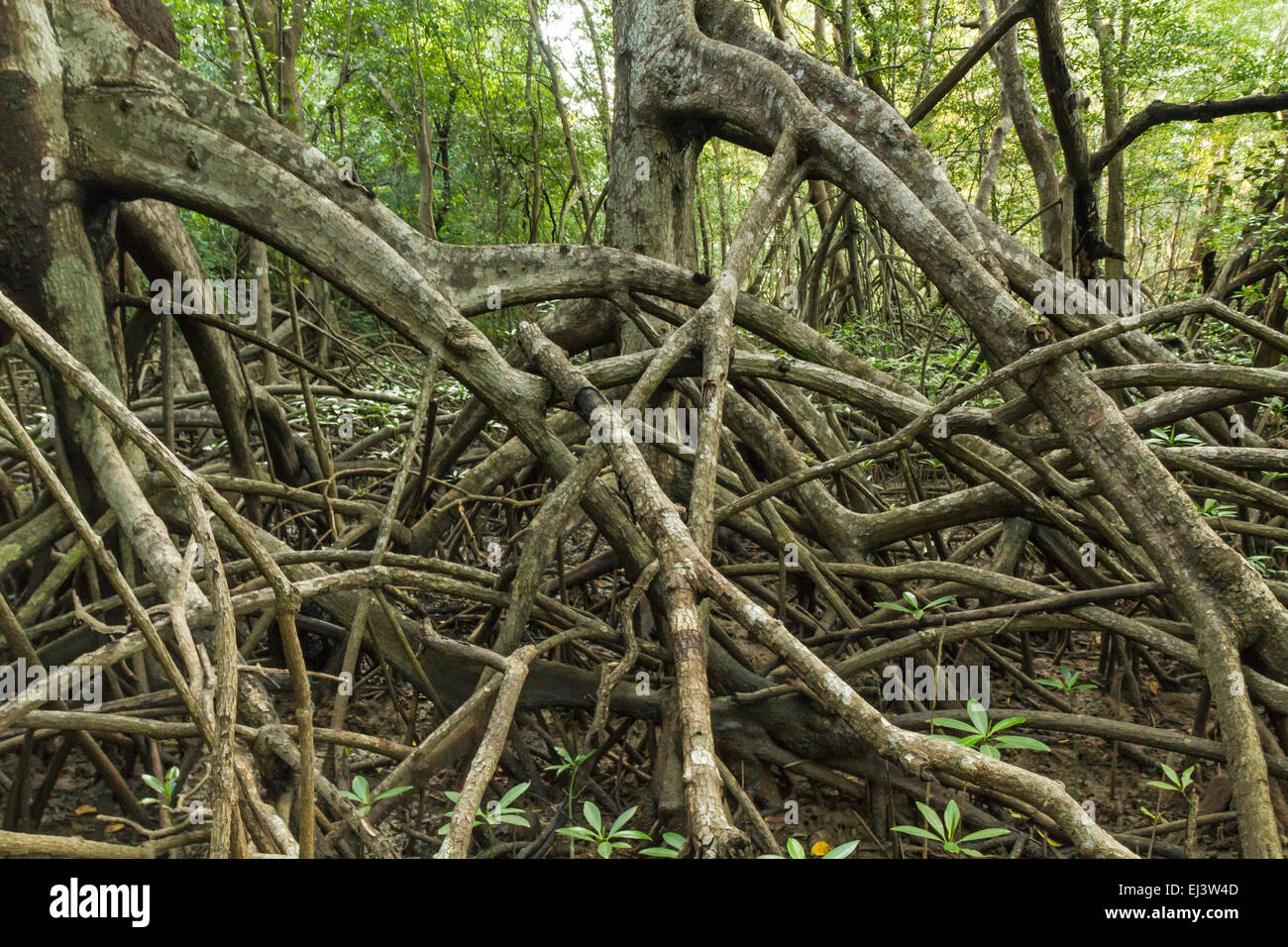 Limbs and roots of mangrove trees in Reserva Biological Nosara look like the trees are marching in Nosara, Costa Stock Photo