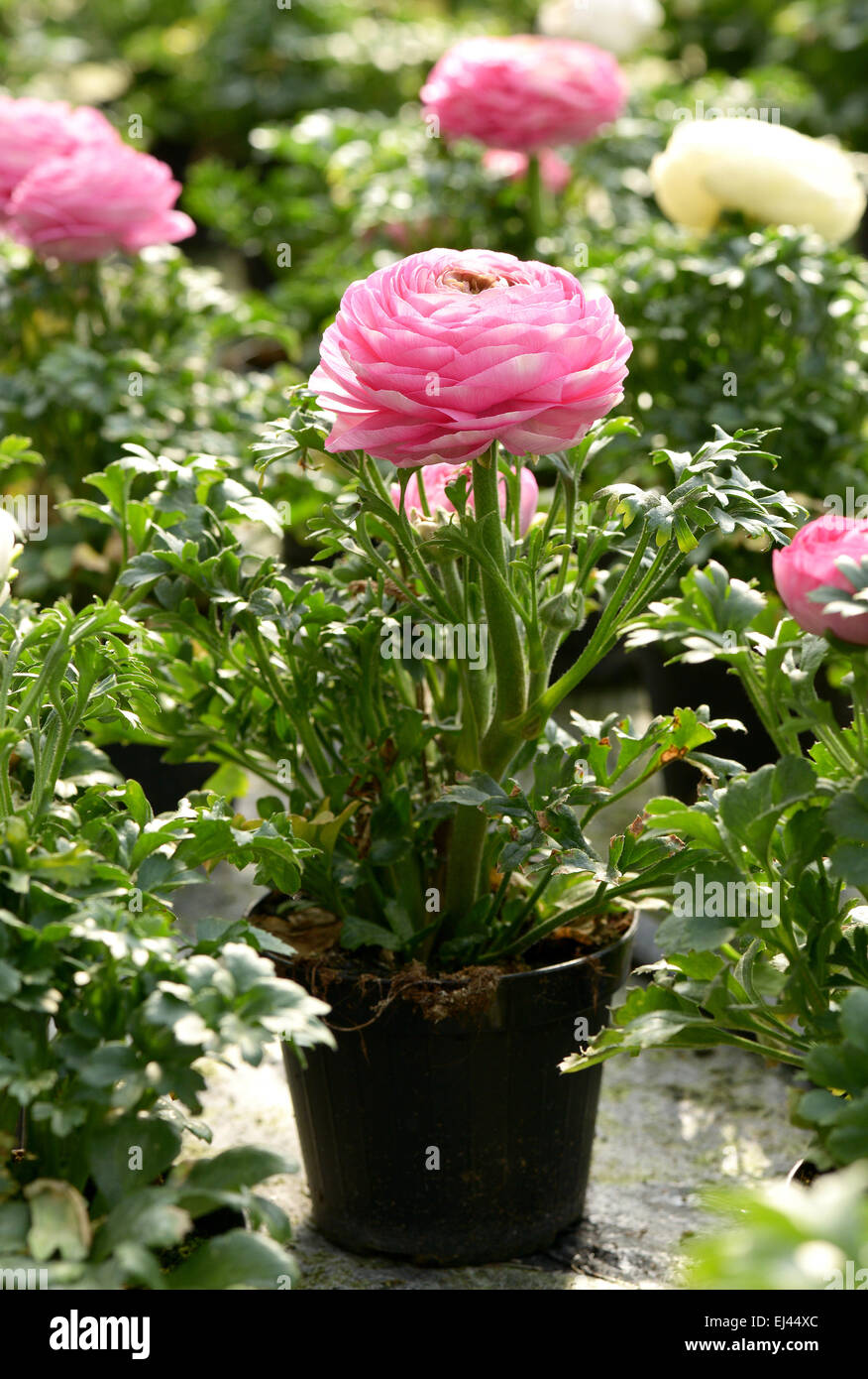 Potted pretty fresh pink buttercup or Ranunculus in a plastic flowerpot for sale at a nursery - Stock Image