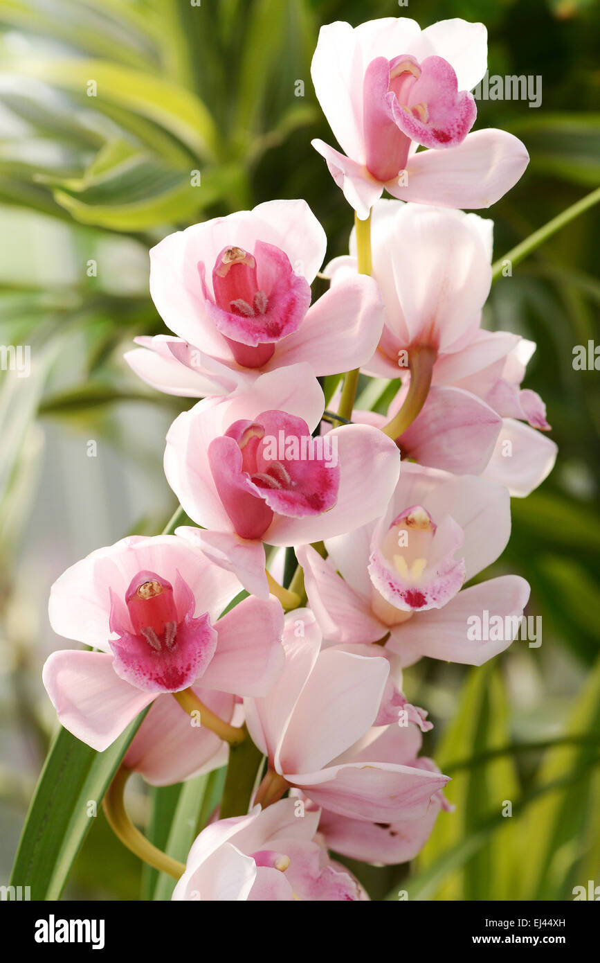 Flowering exotic pink Cymbidium orchids on a spike growing on a potted plant in a house or nursery - Stock Image