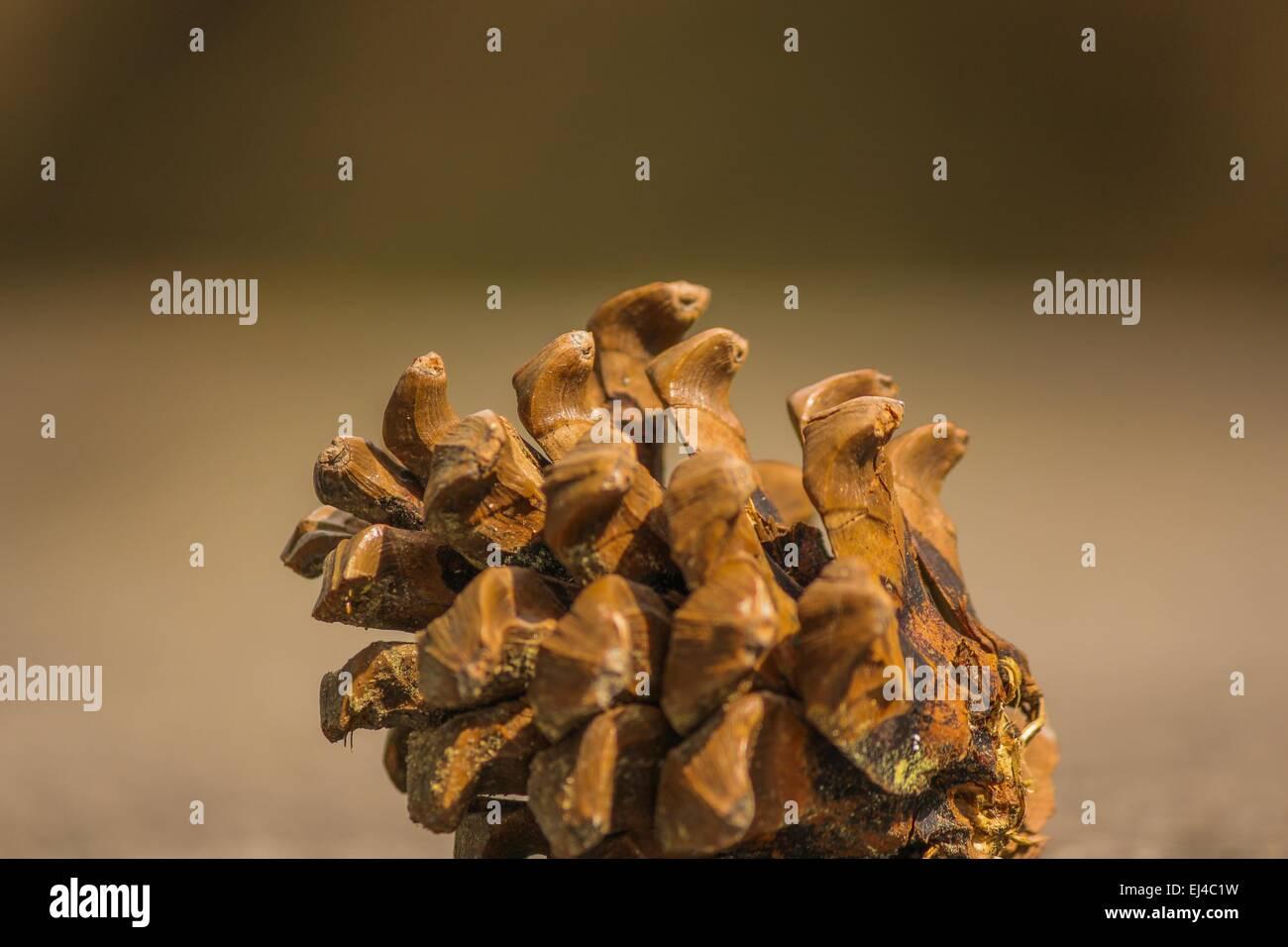 Gymnospermae pine cone Conifer cone - Stock Image