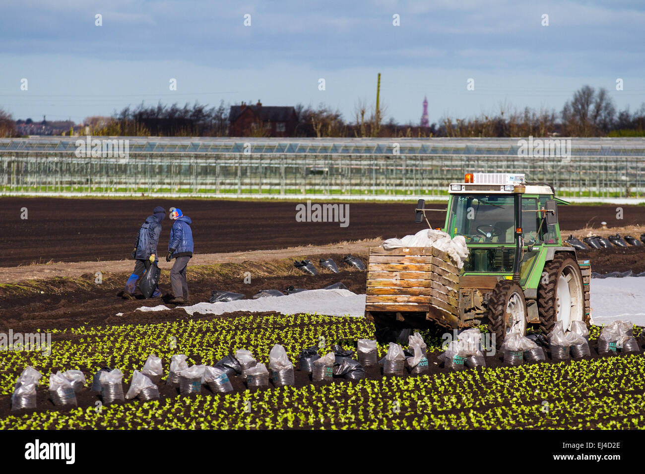 Tarleton, Southport, Lancashire, UK 21st March, 2015.  Warm temperatures and drying soils enable farm workers, labourers - Stock Image