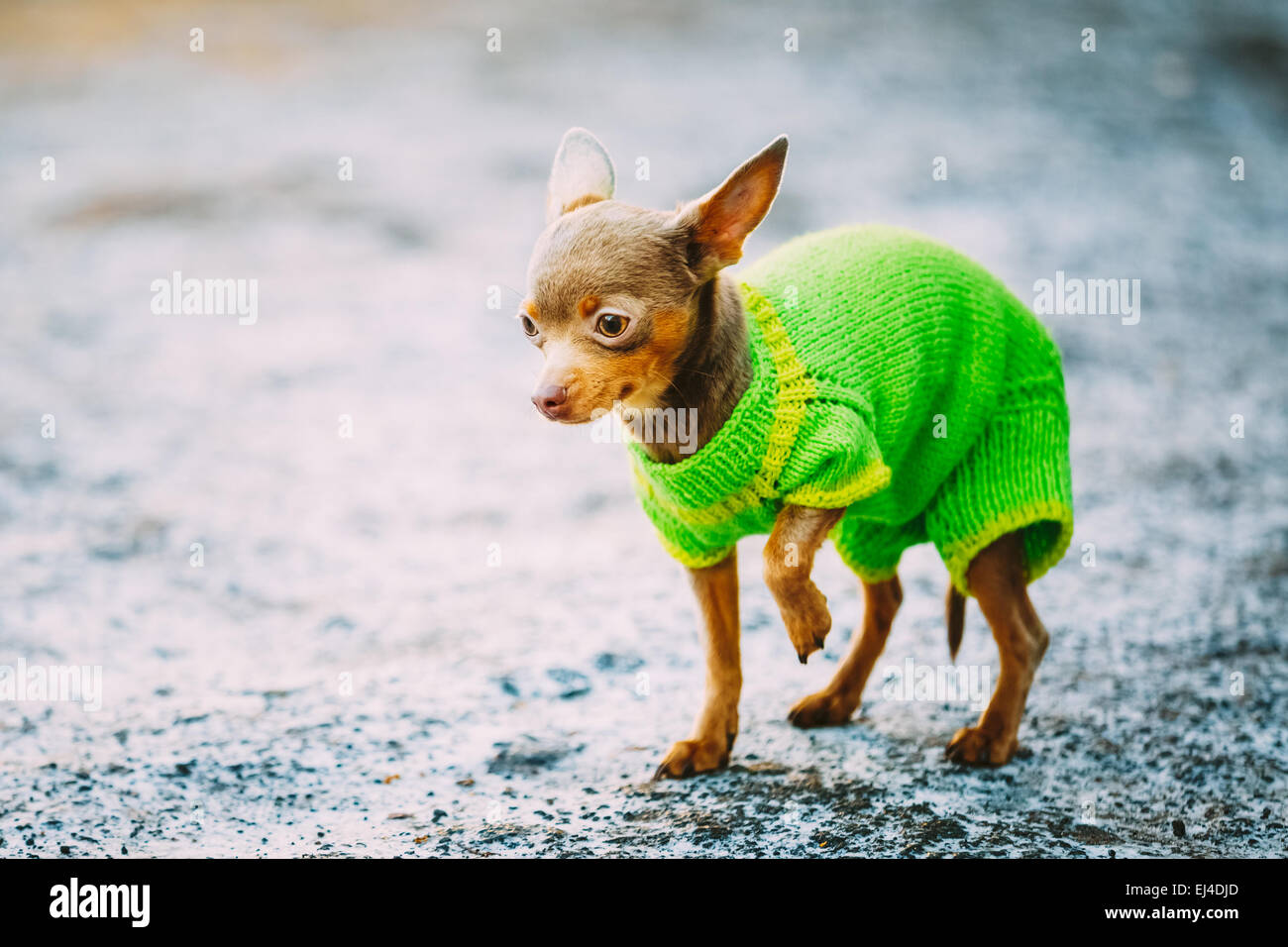 Beautiful Tiny Chihuahua Dog Dressed Up In Outfit, Staying Outdoor In Spring Stock Photo