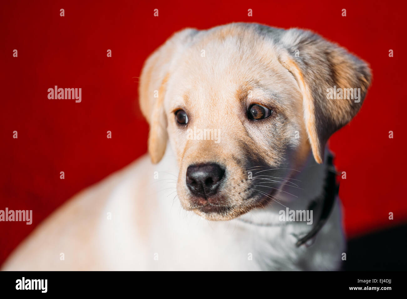 Beautiful White Dog Lab Labrador Retriever Pup Puppy Whelp Outdoor In Spring - Stock Image