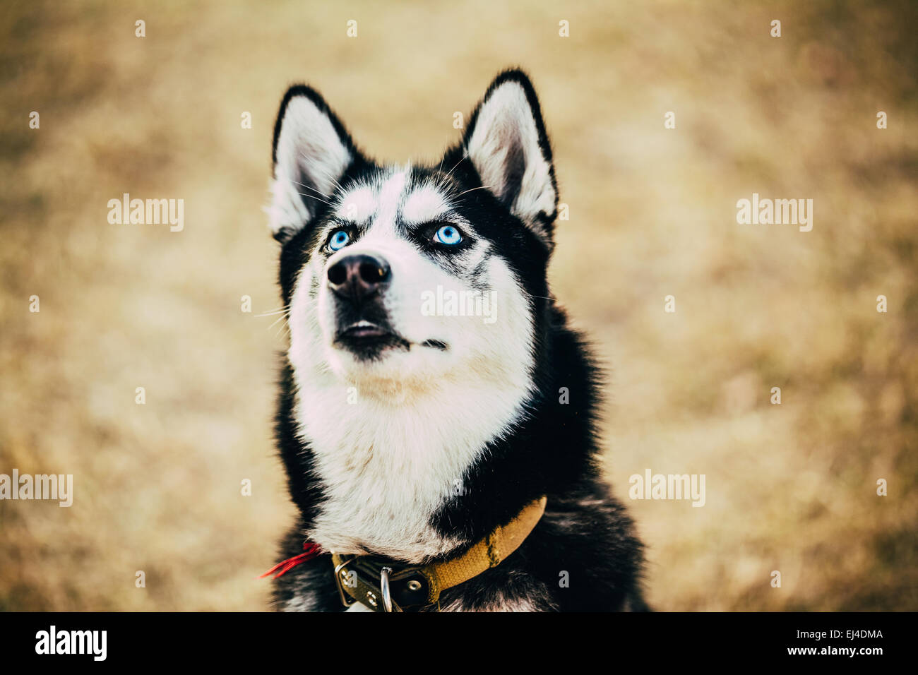 Close Up Young Happy Husky Puppy Eskimo Dog Looking Up Outdoor In Autumn - Stock Image