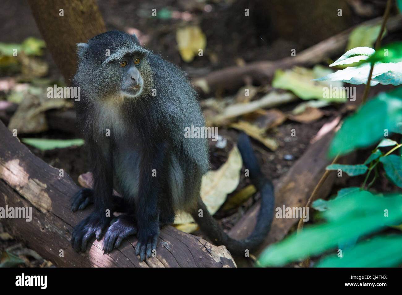 Portrait of a Blue Monkey face in Lake Manyara National Park, Tanzania - Stock Image