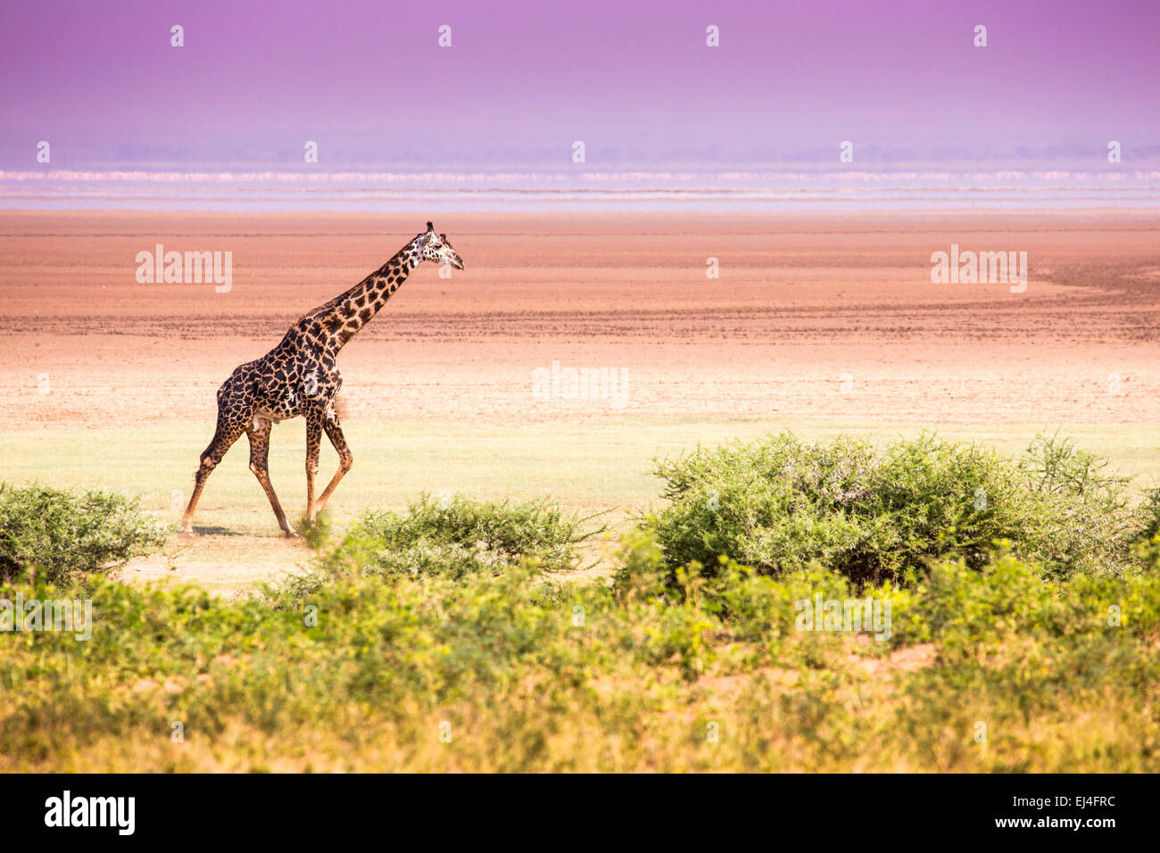 Giraffes in Lake Manyara national park, Tanzania - Stock Image