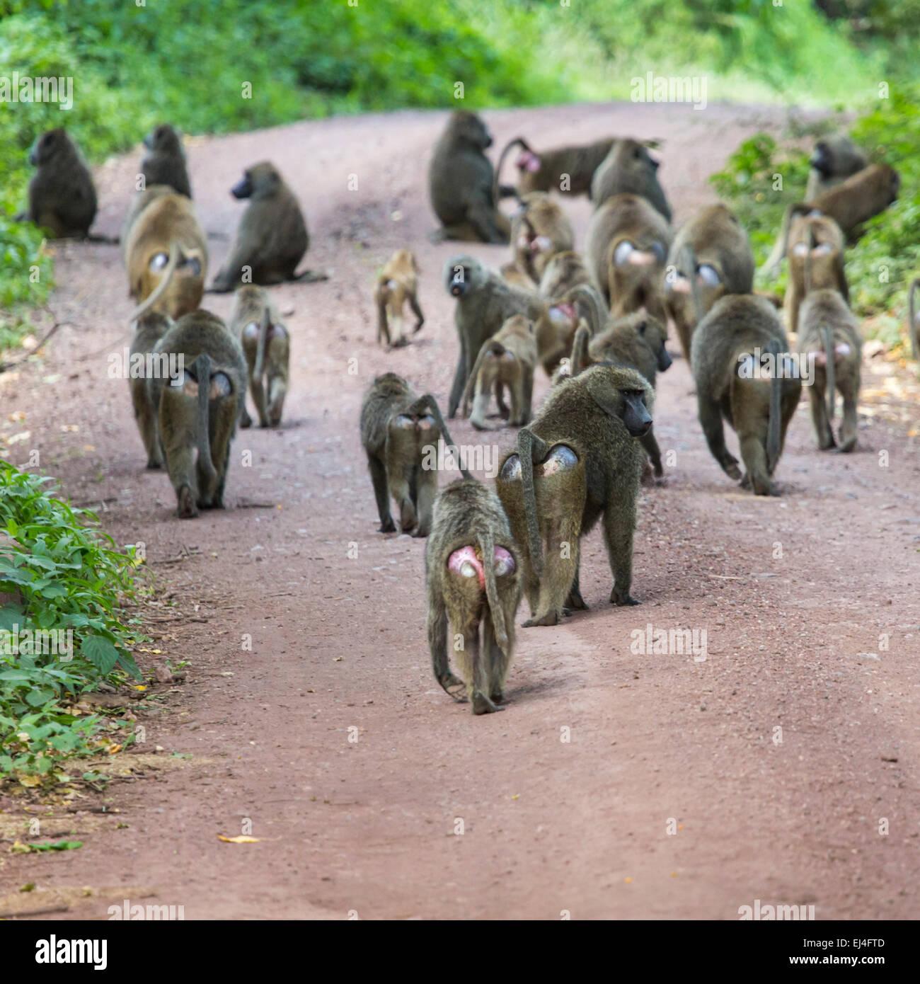 Group of Baboon monkeys in African bush. Lake Manyara National Park in Tanzania - Stock Image