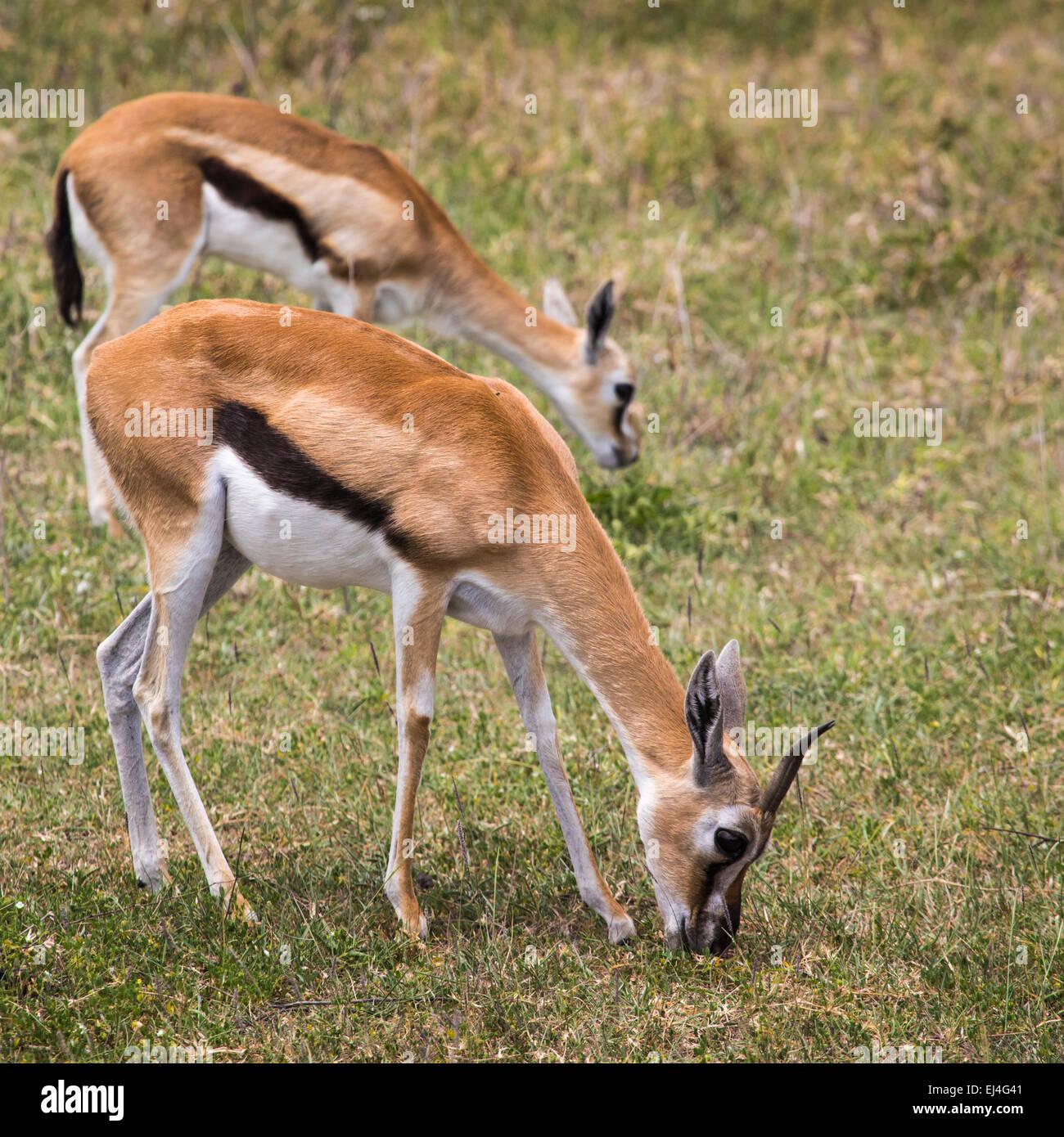 Female impala antelopes in Maasai Mara National Reserve, Kenya. - Stock Image